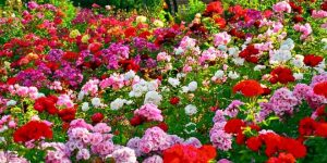 Rose Festival in Chandigarh:  Amazing Attraction for Nature Lovers